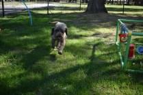 Alvin-Poodle-Banksia Park Puppies - 2 of 31