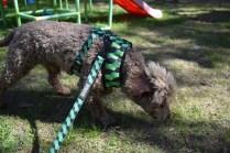 Alvin-Poodle-Banksia Park Puppies - 24 of 31