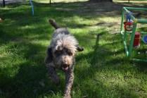 Alvin-Poodle-Banksia Park Puppies - 3 of 31