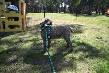 Alvin-Poodle-Banksia Park Puppies - 31 of 31