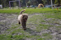 Banksia Park Puppies Ayasha - 16 of 36
