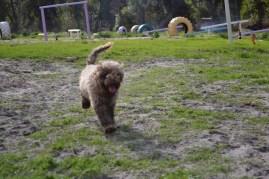 Banksia Park Puppies Ayasha - 16 of 36