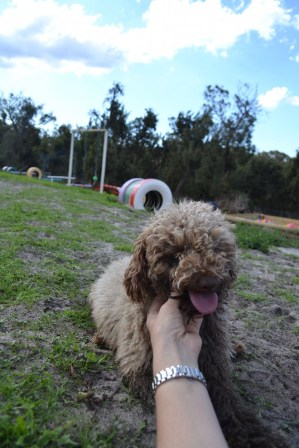 Banksia Park Puppies Ayasha - 18 of 36