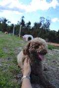 Banksia Park Puppies Ayasha - 21 of 36
