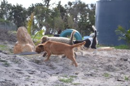 Banksia Park Puppies Ayasha - 4 of 36