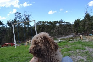 Banksia Park Puppies Ayasha - 5 of 36