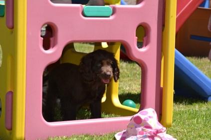 Banksia Park Puppies Bailey 2