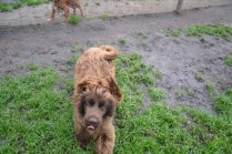 Banksia Park Puppies Bailey Whoopy - 4 of 34