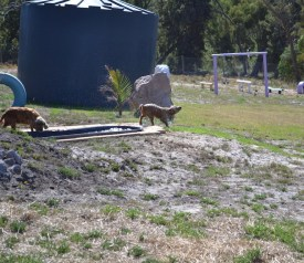 Banksia Park Puppies Brutus - 1 of 20 (10)