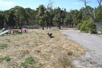 Banksia Park Puppies Brutus - 1 of 20 (9)