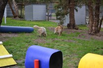 Banksia Park Puppies Elle and Oprah