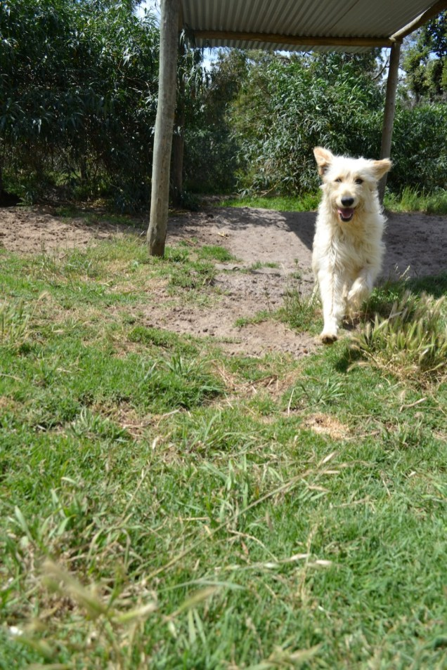 Banksia Park Puppies Groodle Sneaky