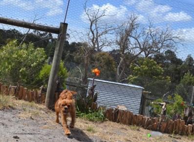 Banksia Park Puppies Hilary