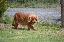 Banksia Park Puppies Nona