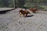 Banksia Park Puppies Saffi Ray - 8 of 44