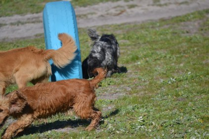 Banksia Park Puppies Sami - 17 of 36