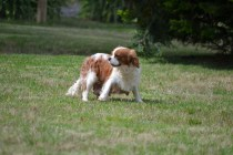 Banksia Park Puppies Sansa