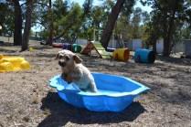 Banksia Park Puppies_Bree