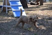 Banksia Park Puppies_Chilli