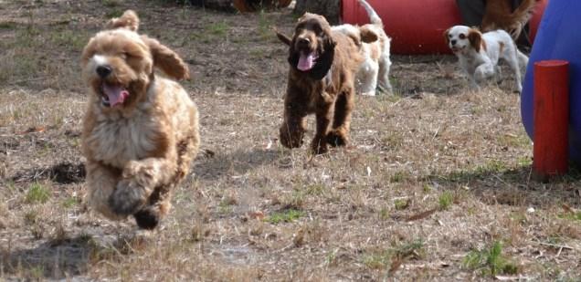 Banksia Park Puppies Widget