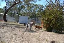 Banksia Park Puppies_Gus