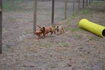 Banksia Park Puppies_Taylee