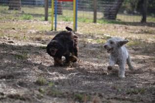 Banksia Park Puppies_Pinky