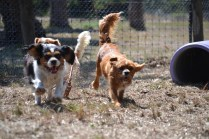 Banksia Park Puppies_Clazy