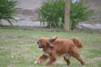 Banksia Park Puppies_rusty