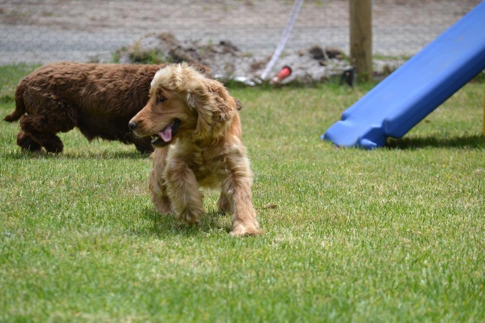 Banksia Park Puppies_Sami