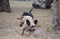 Banksia Park Puppies_Winnie