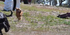 Banksia Park Pupppies Hermione - 1 of 6 (1)