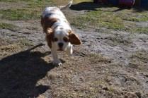 Oddball- Banksia Park Puppies - 10 of 33
