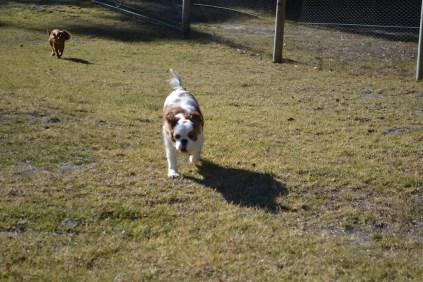 Oddball- Banksia Park Puppies - 12 of 33