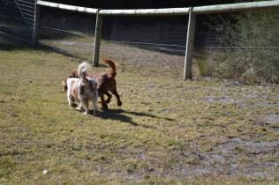 Oddball- Banksia Park Puppies - 14 of 33