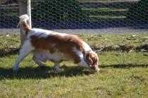 Oddball- Banksia Park Puppies - 21 of 33