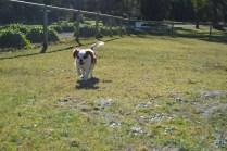 Oddball- Banksia Park Puppies - 22 of 33