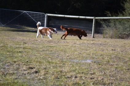 Oddball- Banksia Park Puppies - 26 of 33