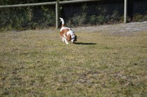 Oddball- Banksia Park Puppies - 28 of 33