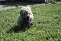 Saki-Poodle-Banksia Park Puppies - 4 of 22