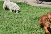 Saki-Poodle-Banksia Park Puppies - 7 of 22