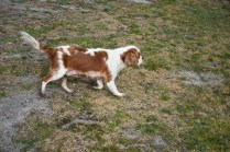 Sylvie-Cavalier-Banksia Park Puppies - 8 of 27