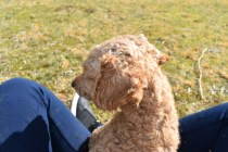 Tobasco-Poodle-Banksia Park Puppies - 26 of 80