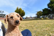 Tobasco-Poodle-Banksia Park Puppies - 28 of 80