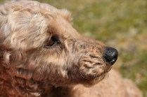 Tobasco-Poodle-Banksia Park Puppies - 36 of 80
