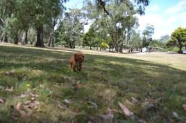 Banksia Park Puppies Hala