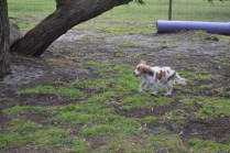 banksia-park-puppies-missy-17-of-40
