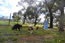 banksia-park-puppies-missy-30-of-40