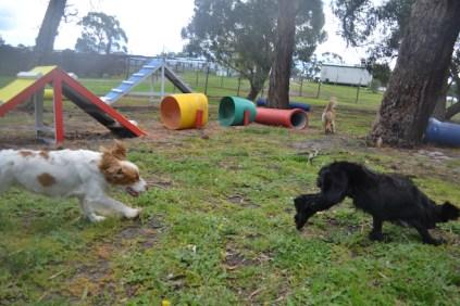 banksia-park-puppies-missy-8-of-40