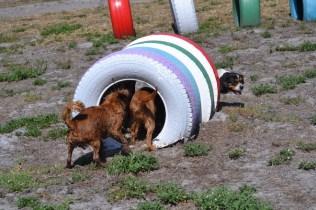 Banksia Park Puppies Willbee - 1 of 54 (13)